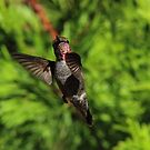 Hummingbird by Laura Puglia