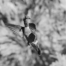 Hummingbird (Black & White) by Laura Puglia