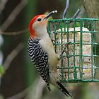 Redbellied Woodpecker by Karen Checca