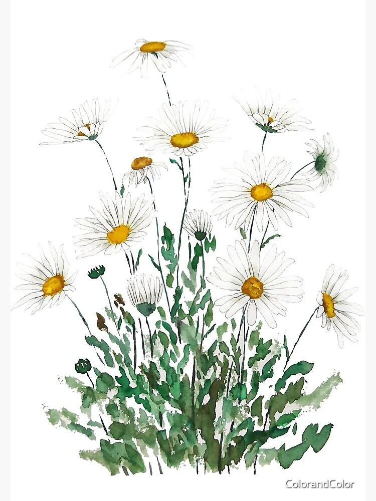 white Margaret daisy watercolor  by ColorandColor