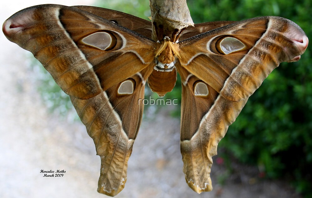 Giant Hercules Moths by robmac