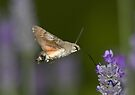 Humming Bird Moth 1 by David Clarke