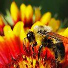 Bee on Gaillardia by Nancy Barrett