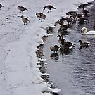 Stranger In the Flock ! by Nancy Richard
