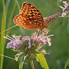Great Spangled Fritillary Butterfly by David Lamb