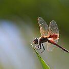 Dragonfly Drama by Greta van der Rol