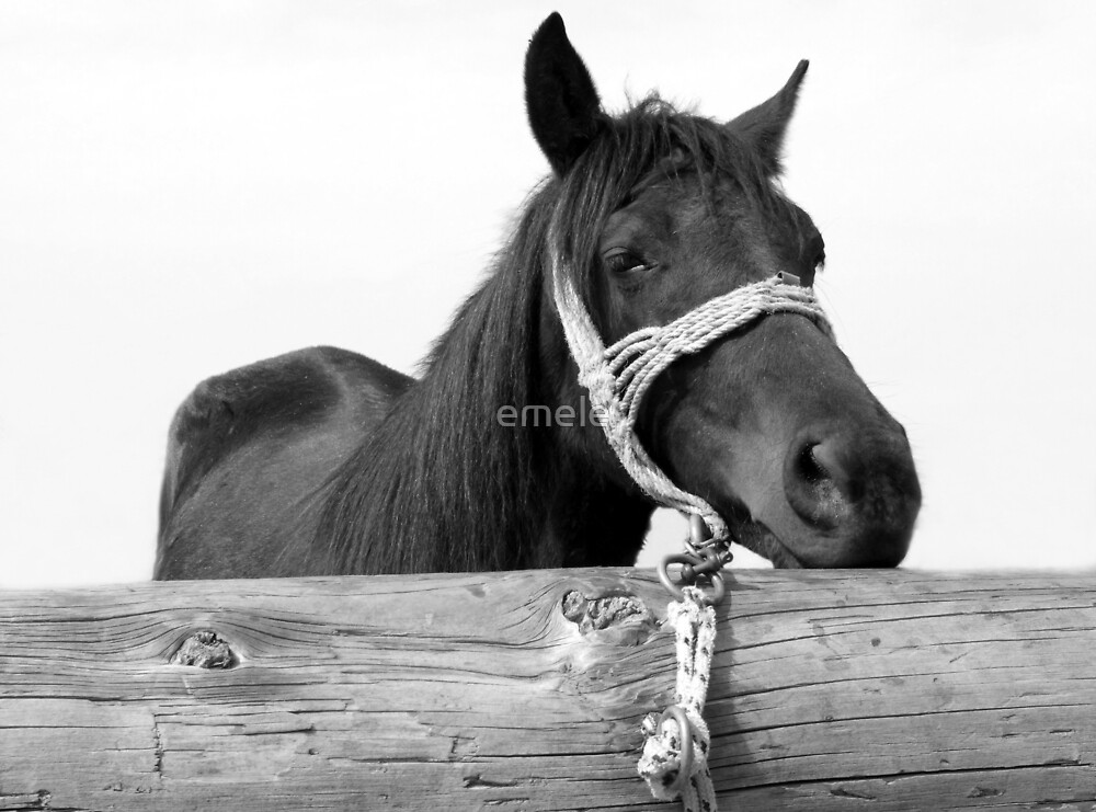 Tethered Horse Black and White Photo by emele