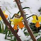 Daffodil's in the Snow by relayer51
