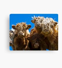 Friendly curious highland cattle Canvas Print
