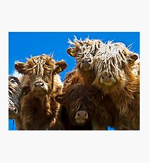 Friendly curious highland cattle Photographic Print