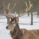 Red Stag in the snow by Elaine123