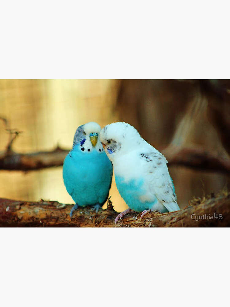 Lovely Pair Of Budgies by Cynthia48