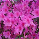 AZALEAS MEAN SPRING by May Lattanzio