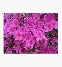 AZALEAS MEAN SPRING Photographic Print