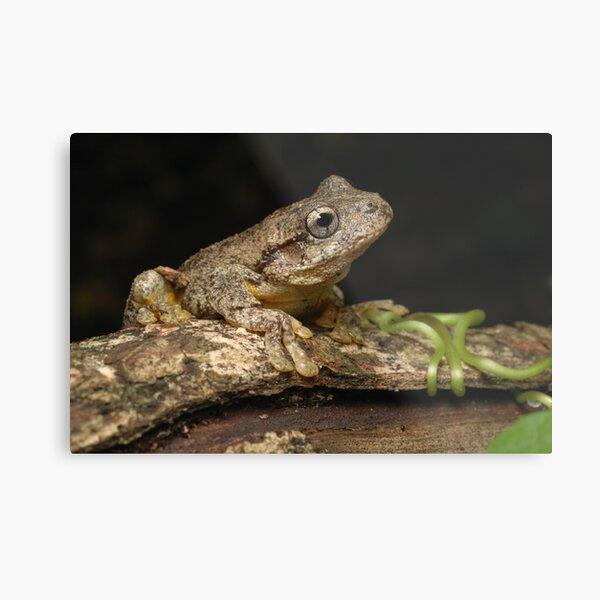 Peron's Tree Frog Metal Print