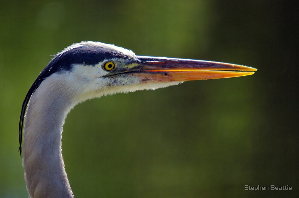 Great Blue Heron - Right Profile by Stephen Beattie