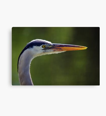 Great Blue Heron - Right Profile Canvas Print