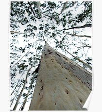 Towering Candlebark - Sinclair's Gully Poster