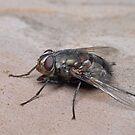 Tachinid Fly by Andrew Trevor-Jones