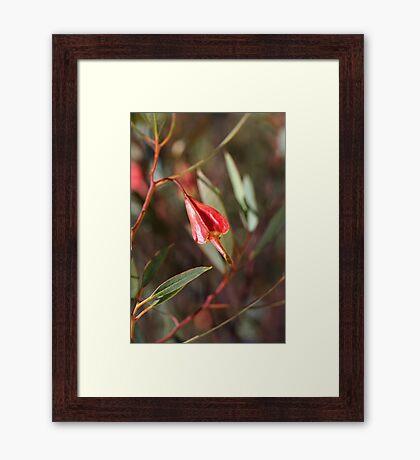 Australian Gum Tree Pod  Framed Print