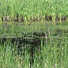 Reeds by Tracy Wazny