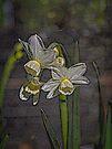 Daffodil Glow by Elaine Teague