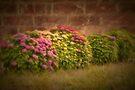 Hydrangeas by Elaine Teague