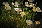 California Poppy (Eschscholzia Californica) by Elaine Teague