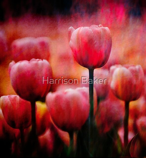 Abstract Tulip Garden by Harrison Baker