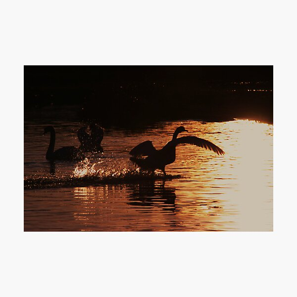 Swan Silhouettes Photographic Print