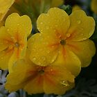 Yellow Polyanthus by RedHillDigital