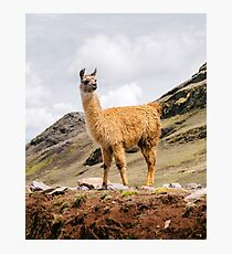 A Llama in the Andes outside of Cusco, Peru Photographic Print