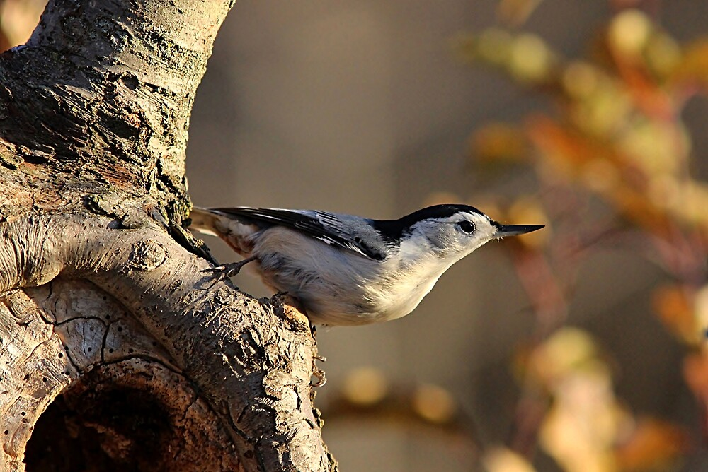 White-breasted Nuthatch in autumn by Linda Crockett