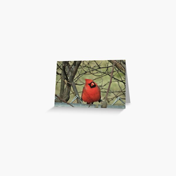 Springtime Northern Cardinal Greeting Card