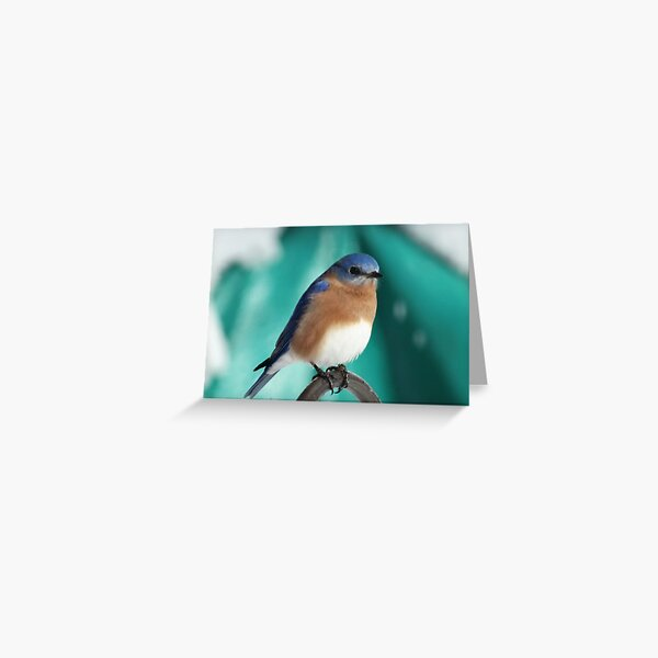 Male Eastern Bluebird Greeting Card