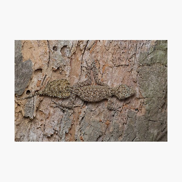 Southern Leaf-tailed Gecko Photographic Print