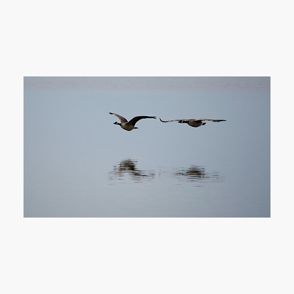 Canada Geese in Flight Photographic Print