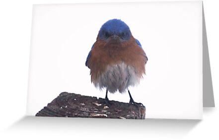 Grumpy eastern bluebird greeting cards by riverlady redbubble grumpy eastern bluebird by riverlady m4hsunfo