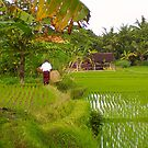 Balinese Rice Paddies ~ No 1 by IntrepidTravel