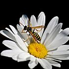 Wasp by Ian Berry