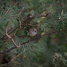 Fairy wren in the bushes by Stephen  Shelley