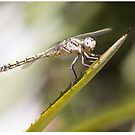 Dragonfly by Sarah Guiton