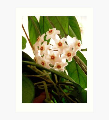 Hoya flowers Art Print