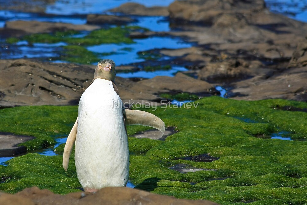 Yellow-eyed Penguin Stretching by Nickolay Stanev