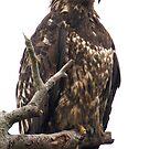 Bald Eagle: Juvenile Portrait by David Friederich