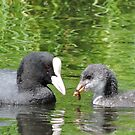 Coot and Cootling by CreativeEm