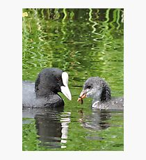 Coot and Cootling Photographic Print