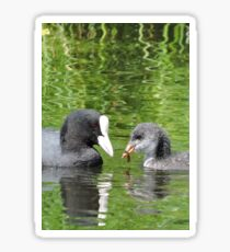 Coot and Cootling Sticker