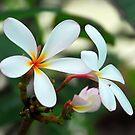 Kauai Plumeria by April White