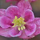Pink columbine by ANNABEL   S. ALENTON